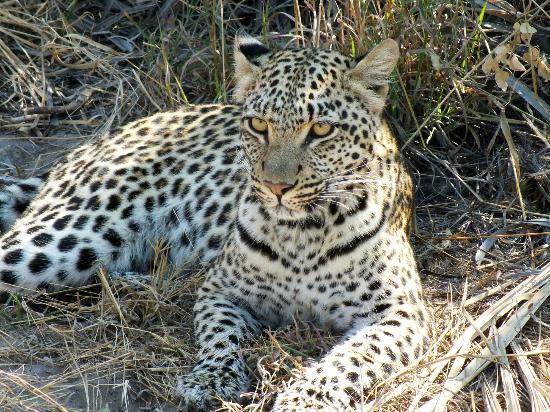 Kwetsani Camp: Leopard