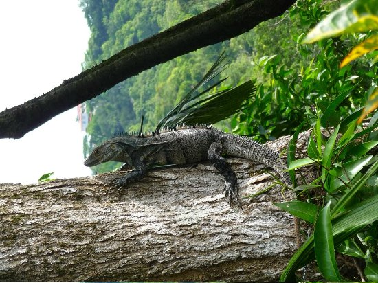 Tulemar Bungalows & Villas: Iguana on the property