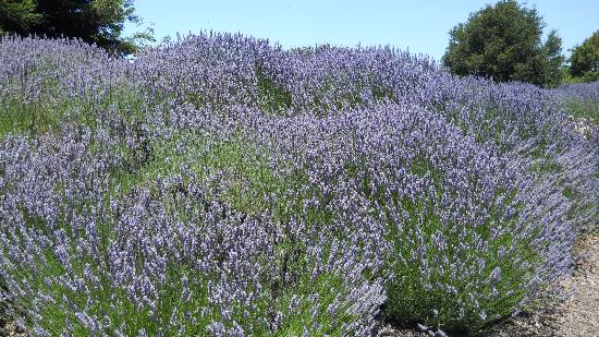 Tolosa: Lavender bushes in front