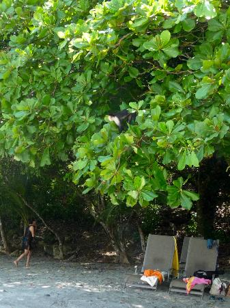 Tulemar Bungalows & Villas: A monkey visiting the beach