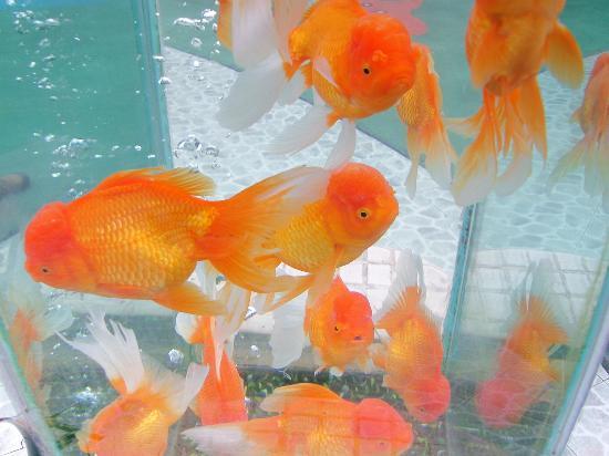 Guangzhou Zoo: goldfish