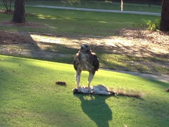 Hilton Head National: hawk on the 12th