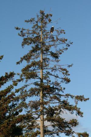 The Alaska Beach House: Eagle in tree on the inn property