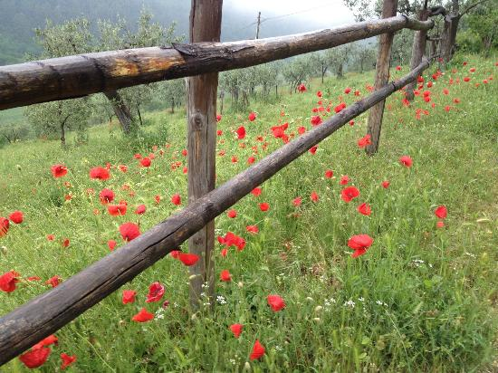 Pianciano: Poppies in May. 