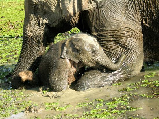 Sayaboury, Laos: Mother and calf