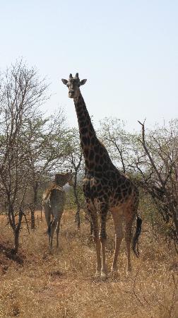 Ravineside Lodge: Giraffes