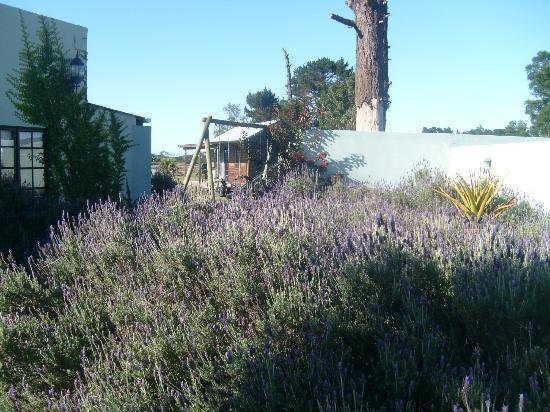 Plett River Lodge: Lavender bushes