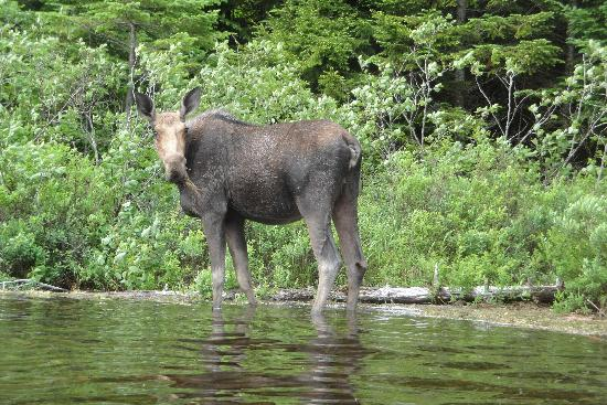‪ألما, كندا: Moose at Bennet Lake