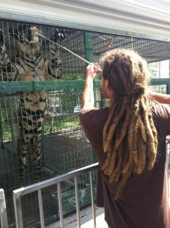 Big Cat Habitat and Gulf Coast Sanctuary : feeding time!