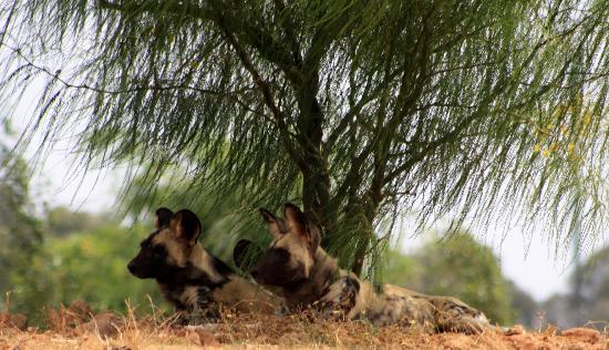 Jardin Zoologique National de Rabat : Wild dogs