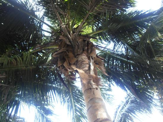 Villa Flamboyant: Coconut Tree