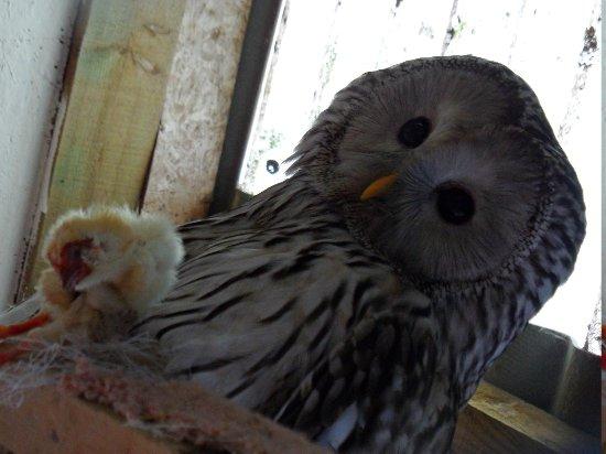 Newent, UK: Barred owl