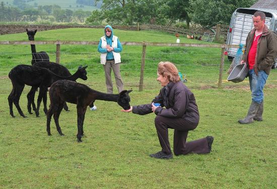 Fairshaw Rigg: treats for the alpacas 