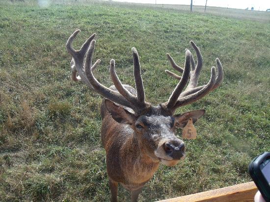 Red Deer at Rolling Hills Farm: Red Deer