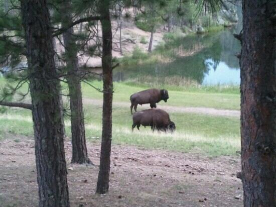 Legion Lake Resort : A few buffalo wondered right by our cabin just after diner. We were staying in cabin #1. It wa