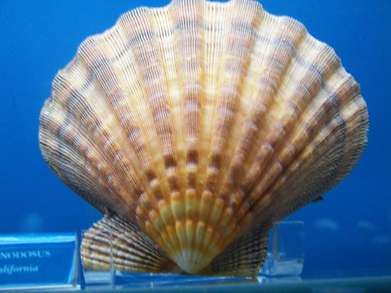 Bermuda Underwater Exploration Institute: A shell from the exhibit