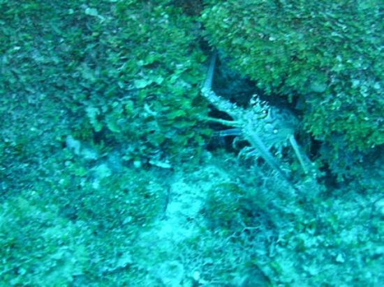 Dream Team Divers: Is it lobster season yet?