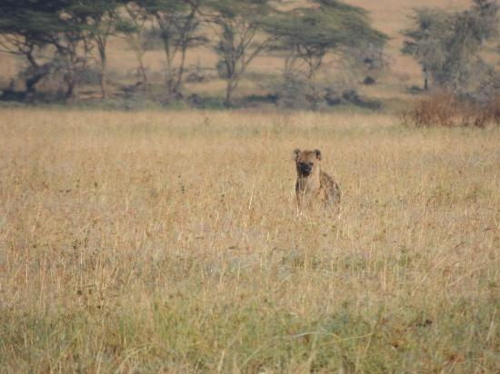 Mwanga Moto Luxury Camp : Hyena right outside our truck