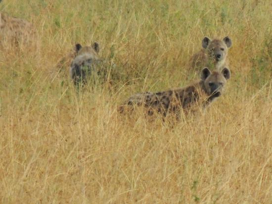Mwanga Moto Luxury Camp : Multiple hyenas