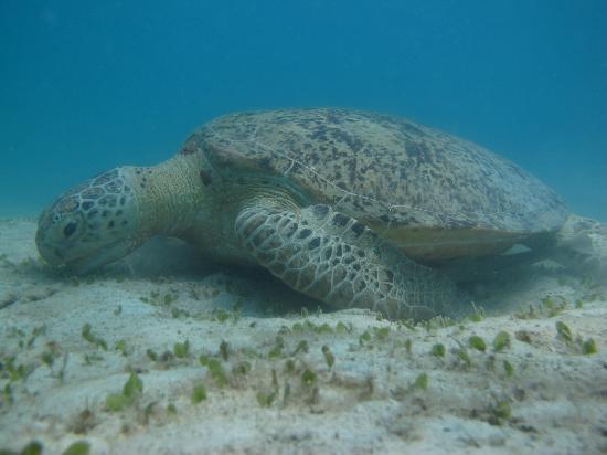 Maya Guesthouse : Turtle