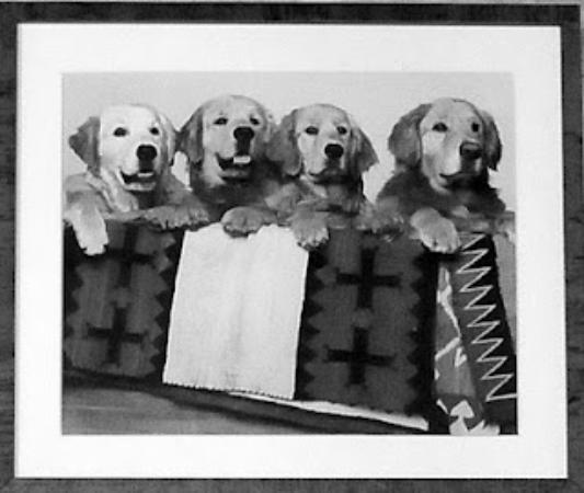 Agriturismo Il Cucciolo: Golden retrievers