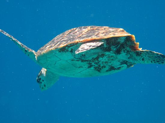 Waterlemon Cay: Hawksbill turtle out by the cay