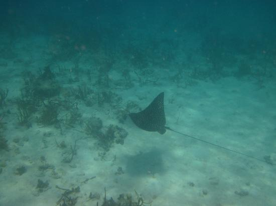 Waterlemon Cay: Spotted eagle ray