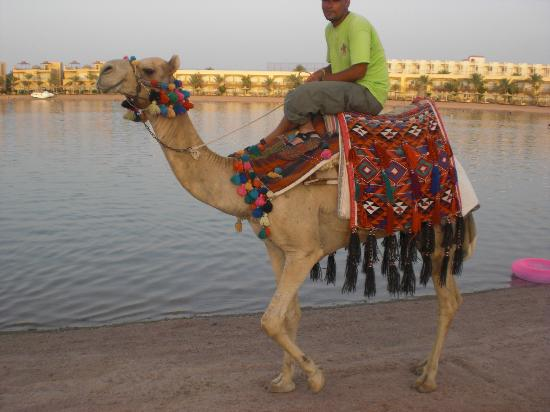Desert Rose Resort: the camel