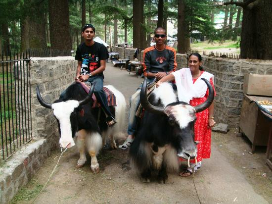 Kunzam Hotel: yak ride in Hidmba Devi Temple