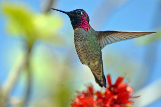 Berkeley, Califórnia: Male Anna's hummingbird, South Africa Section