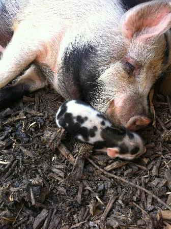 Harry Tuffins Country Park: baby kune kune with its mother
