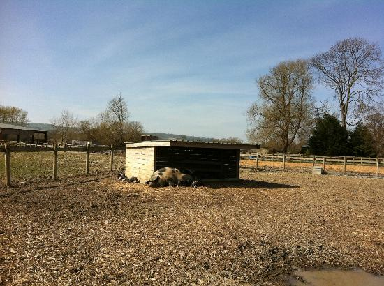 Harry Tuffins Country Park: pigs pen