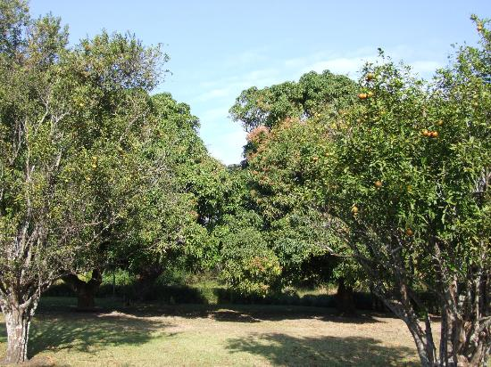 Macadamia Lodge: Mango & Citrus Trees