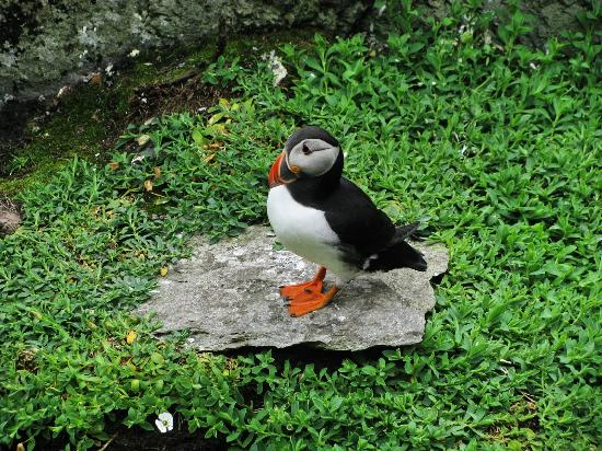 Carraig Liath House : a puffin on the skellig island