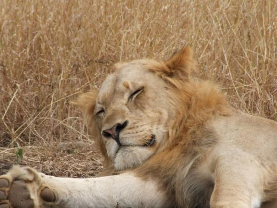 Leopard Mountain Safari Lodge: The lion sleeps this morning