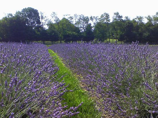 Photo of Carousel Farm Lavender in Mechanicsville, PA, US