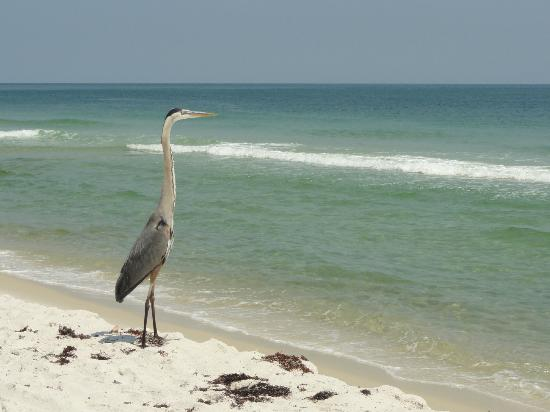 Gulf Shores, AL: Great Blue Heron at the Bon Secour Wildlife Refuge