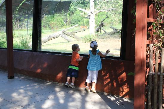 Jackson, MS: My daughter and nephew looking at the tiger in the exhibit. He walks right in front of the windo