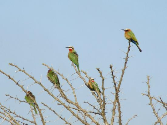 Thula Thula Exclusive Private Game Reserve and Safari Lodge: White Fronted Bee Eaters