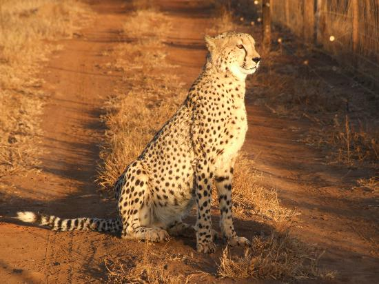 Thanda Safari: One of the Cheetahs