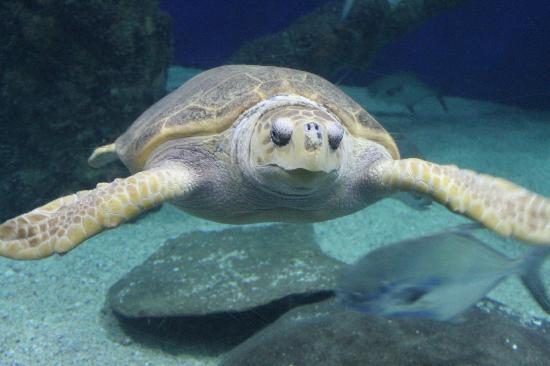 Virginia Aquarium & Marine Science Center: up close with the turtle