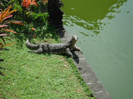 Club Med Bali: Montior Chilling by the pond