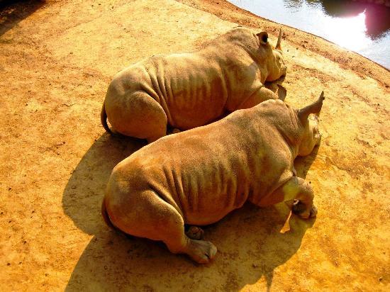 Leofoo Resort Guanshi: Sun tanning rhino