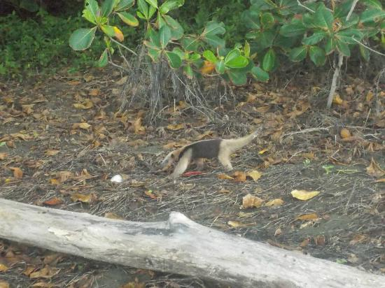 Lookout Inn Lodge : anteater