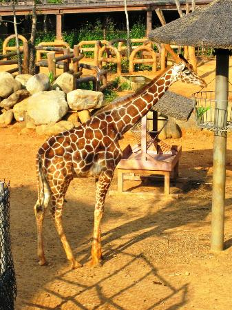 Leofoo Resort Guanshi: Sun tanning giraffe