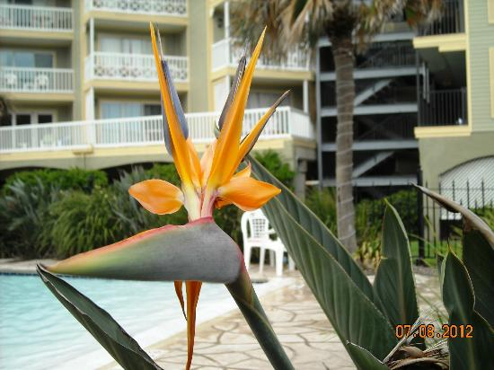 The Victorian Condominiums: Bird of Paradise from the pool area