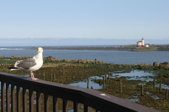 Lighthouse Bed and Breakfast: Miss Olivia the seagull