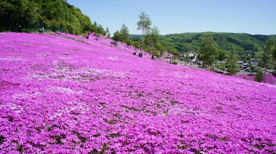 Shibazakura Takinoue Park: 白くなったのは枯れてきています。