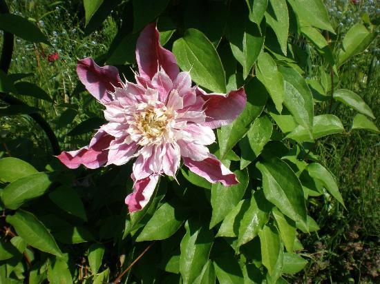 Shichiku Garden : 八重のクレマティス ジョセフィーヌ。