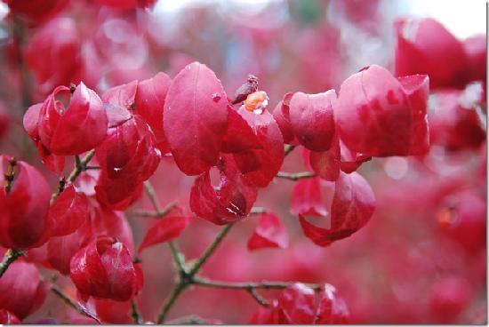 Washington Park Arboretum : Deep red in fall